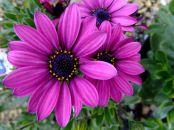 Zanimljivosti o cveću -  Margareta ili bela rada