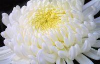 Legende o cveću: Hrizantema