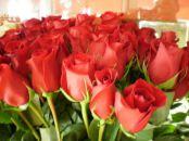 ISTORIJA I ZNAČENJE CRVENE RUŽE